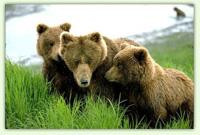 Кафяви мечки
